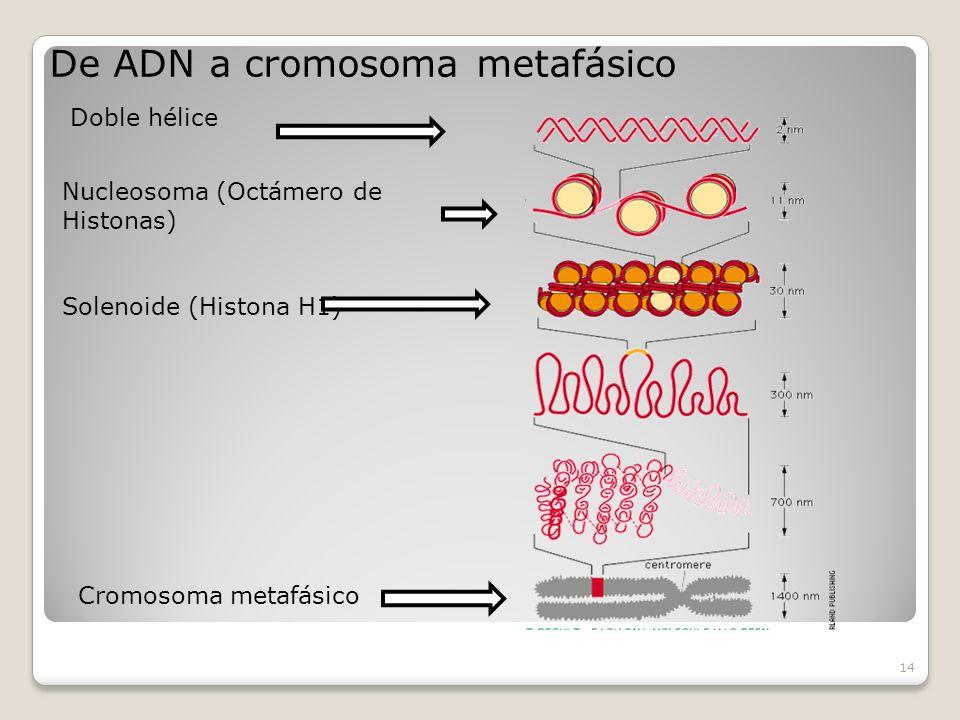 De ADN a cromosoma metafásico