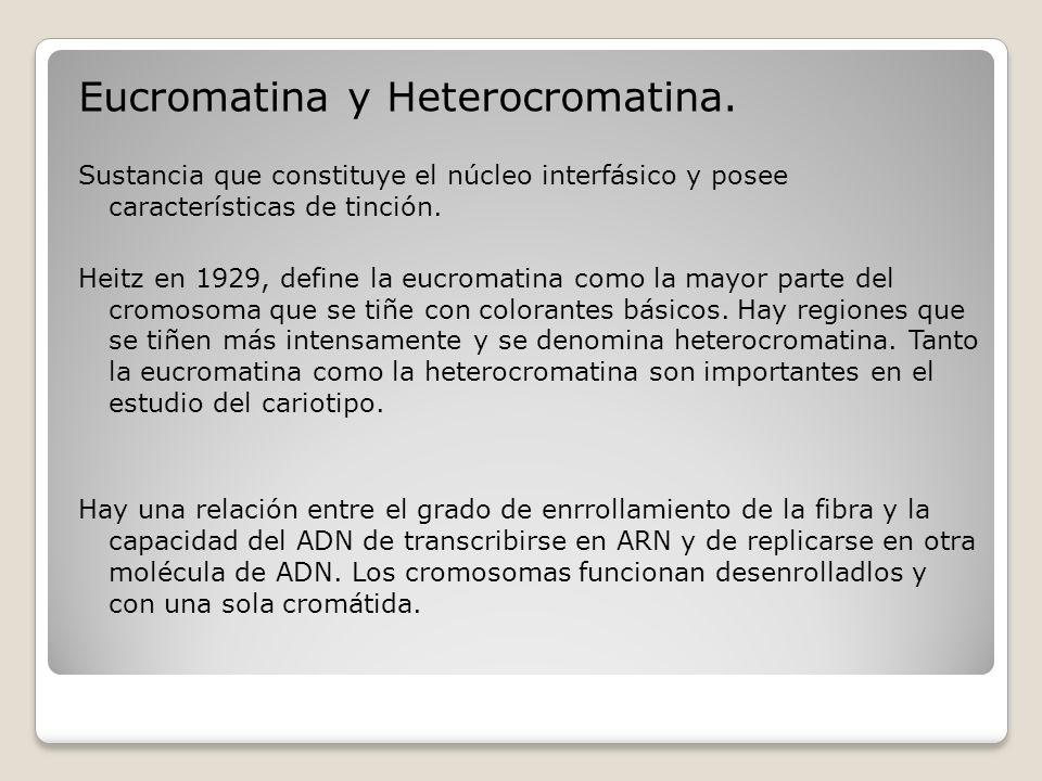 Eucromatina y Heterocromatina.