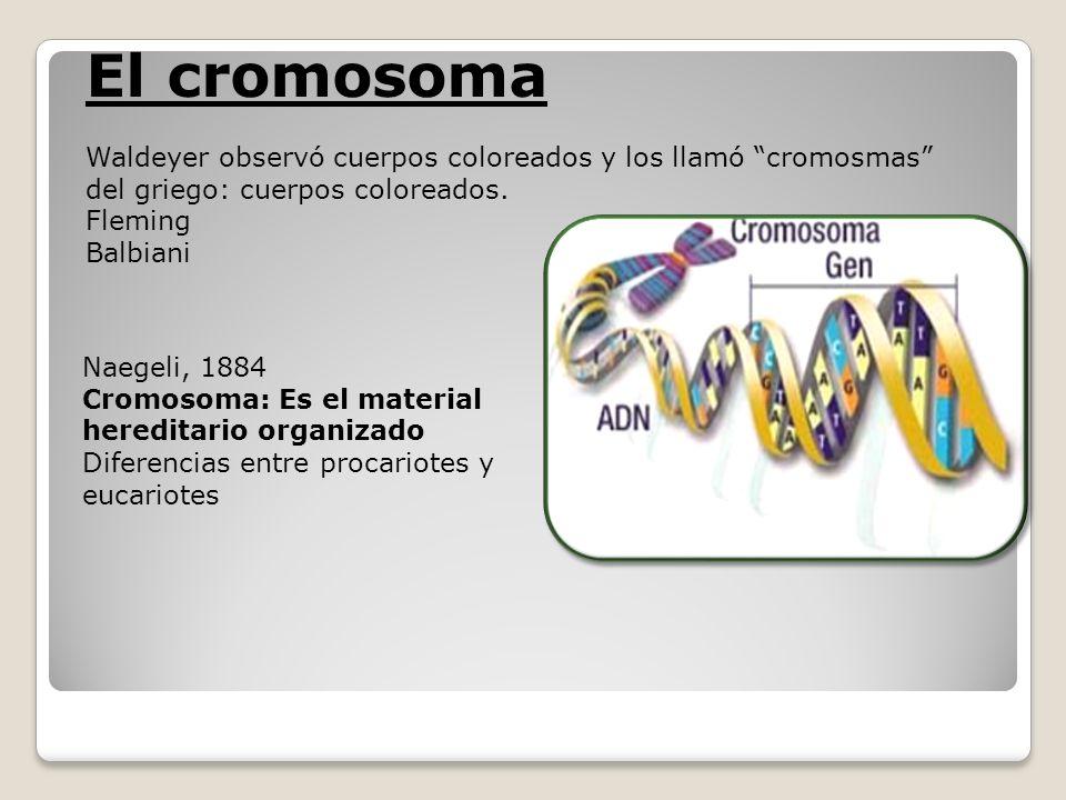 El cromosomaWaldeyer observó cuerpos coloreados y los llamó cromosmas del griego: cuerpos coloreados.