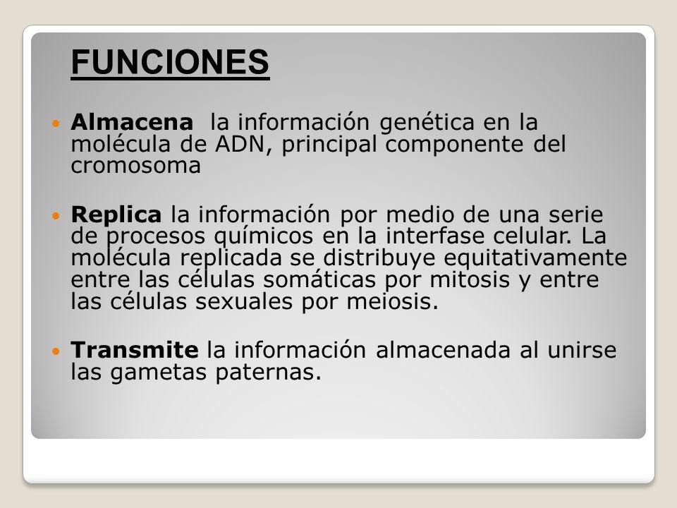 FUNCIONESAlmacena la información genética en la molécula de ADN, principal componente del cromosoma.