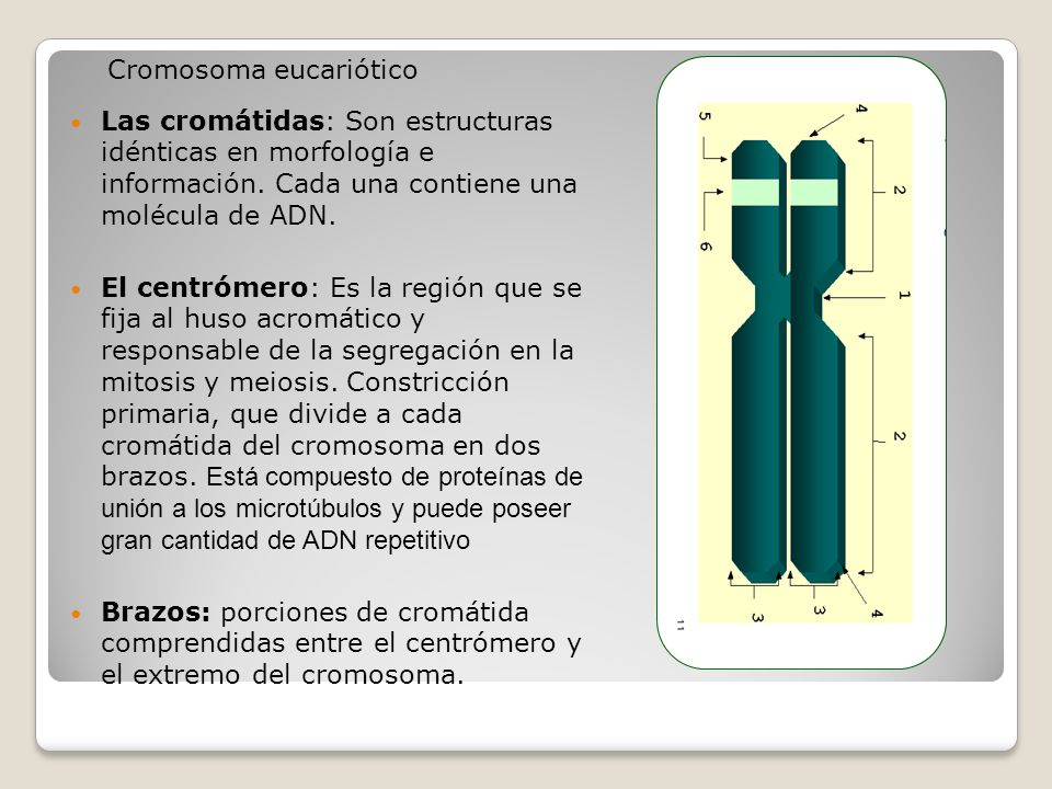 Cromosoma eucariótico