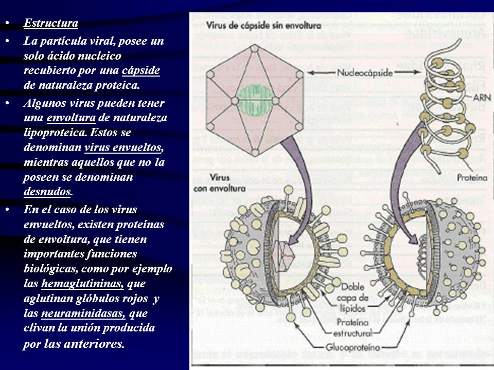 Estructura La partícula viral, posee un solo ácido nucleico recubierto por una cápside de naturaleza proteica.