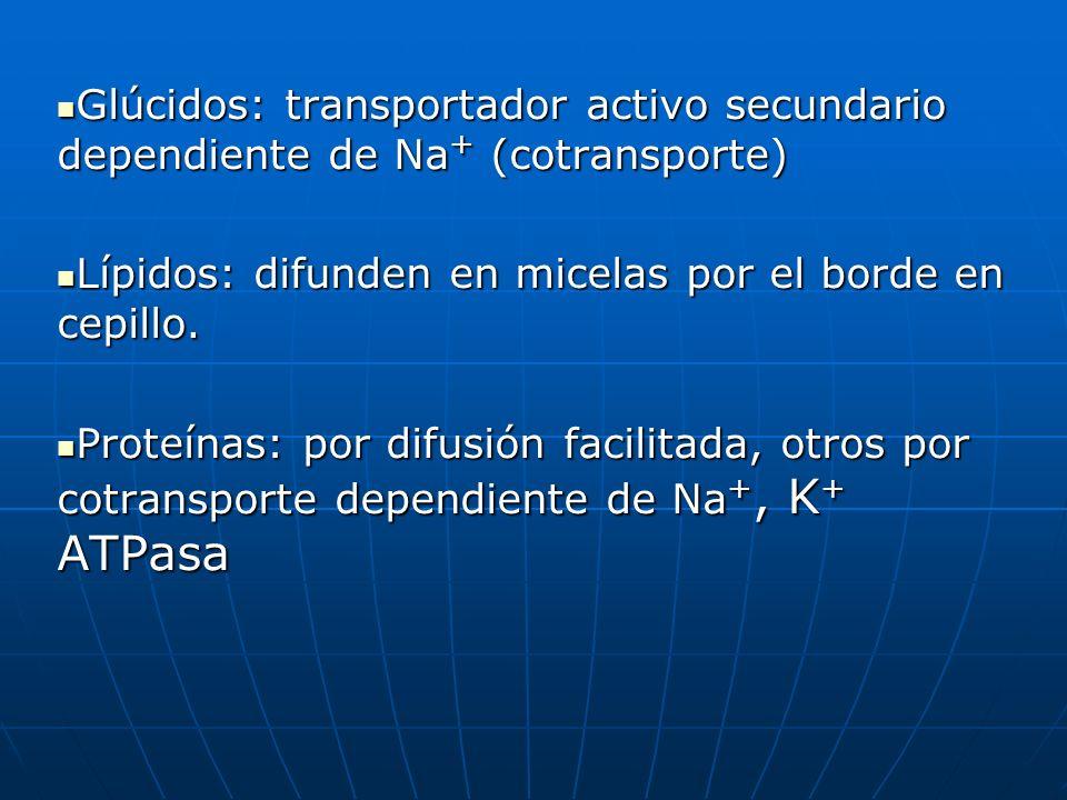 Glúcidos: transportador activo secundario dependiente de Na+ (cotransporte)