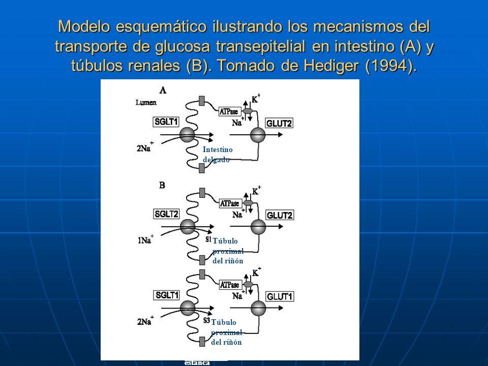 Modelo esquemático ilustrando los mecanismos del transporte de glucosa transepitelial en intestino (A) y túbulos renales (B). Tomado de Hediger (1994).
