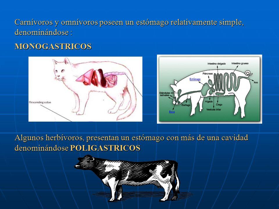Carnívoros y omnívoros poseen un estómago relativamente simple, denominándose :