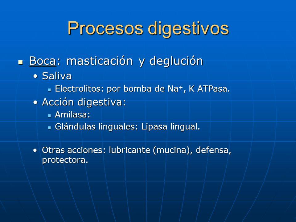 Procesos digestivos Boca: masticación y deglución Saliva