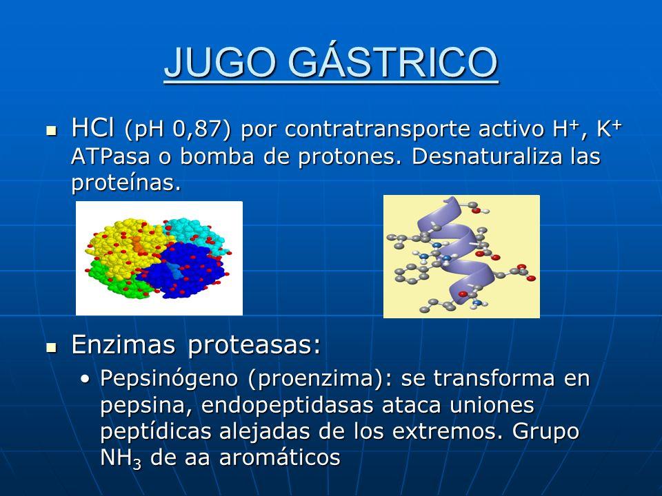 JUGO GÁSTRICO HCl (pH 0,87) por contratransporte activo H+, K+ ATPasa o bomba de protones. Desnaturaliza las proteínas.
