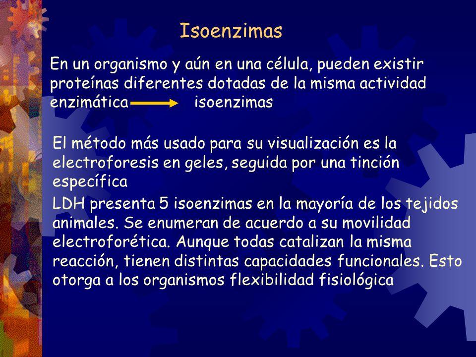 Isoenzimas En un organismo y aún en una célula, pueden existir proteínas diferentes dotadas de la misma actividad enzimática isoenzimas.