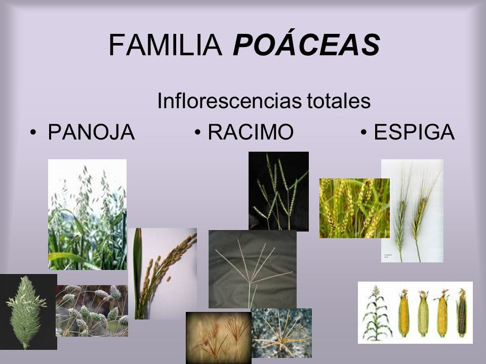 Inflorescencias totales