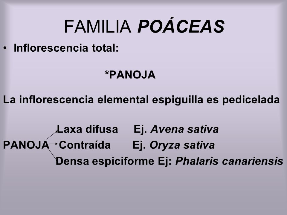 FAMILIA POÁCEAS Inflorescencia total: *PANOJA