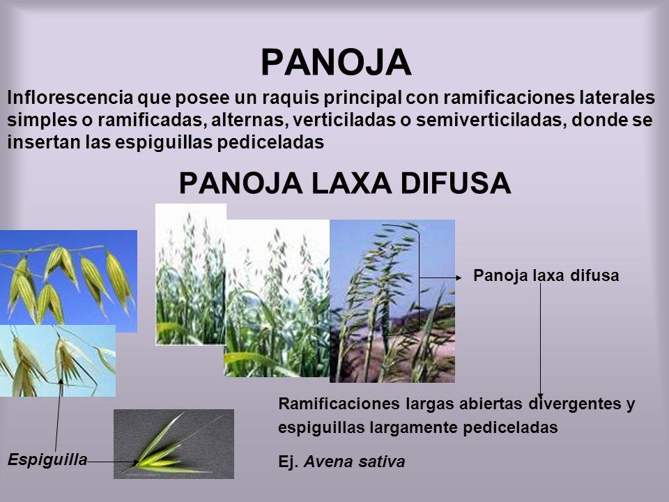 PANOJA PANOJA LAXA DIFUSA