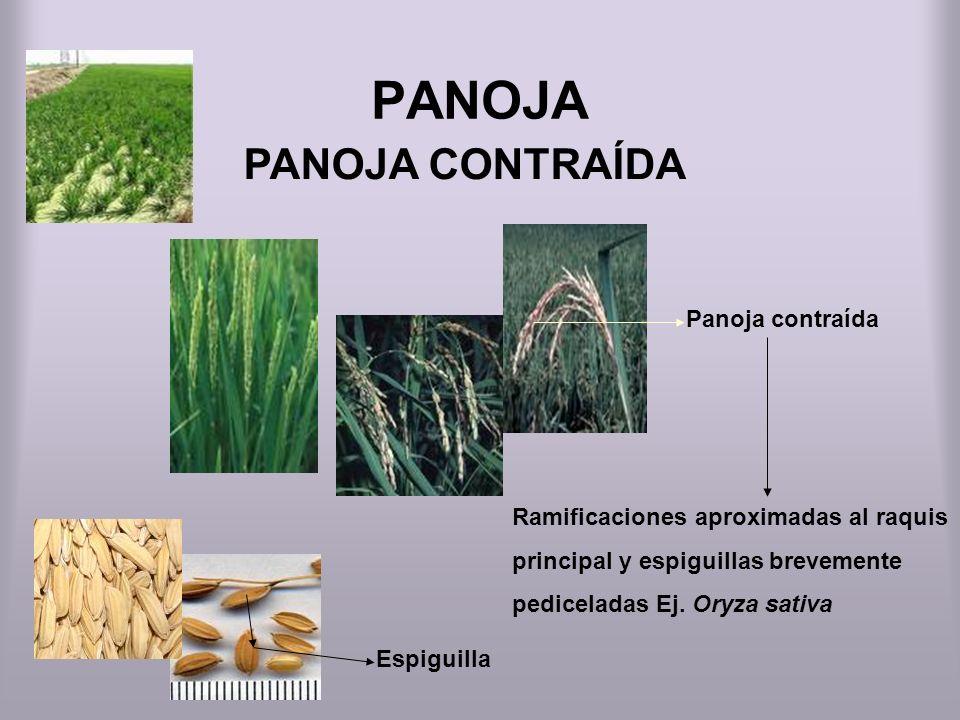 PANOJA PANOJA CONTRAÍDA Panoja contraída