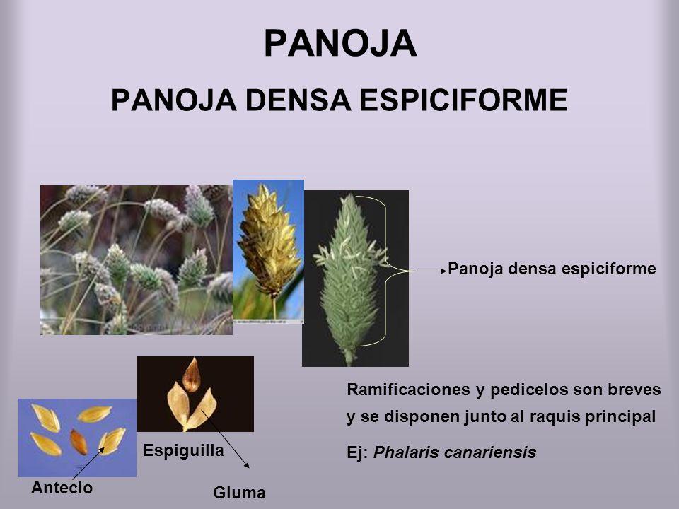 PANOJA DENSA ESPICIFORME