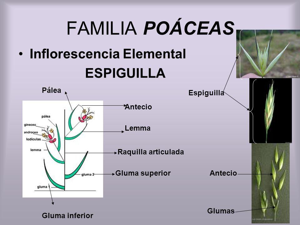 FAMILIA POÁCEAS Inflorescencia Elemental ESPIGUILLA Pálea Espiguilla