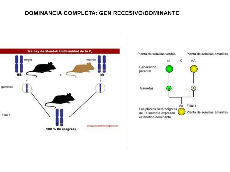 DOMINANCIA COMPLETA: GEN RECESIVO/DOMINANTE