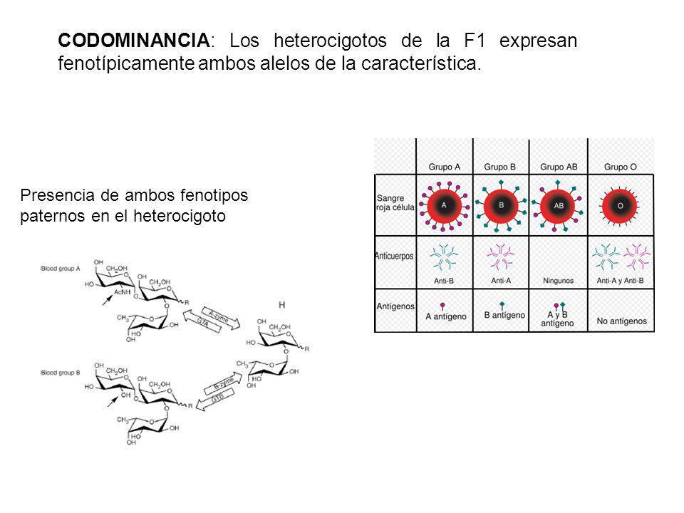CODOMINANCIA: Los heterocigotos de la F1 expresan fenotípicamente ambos alelos de la característica.