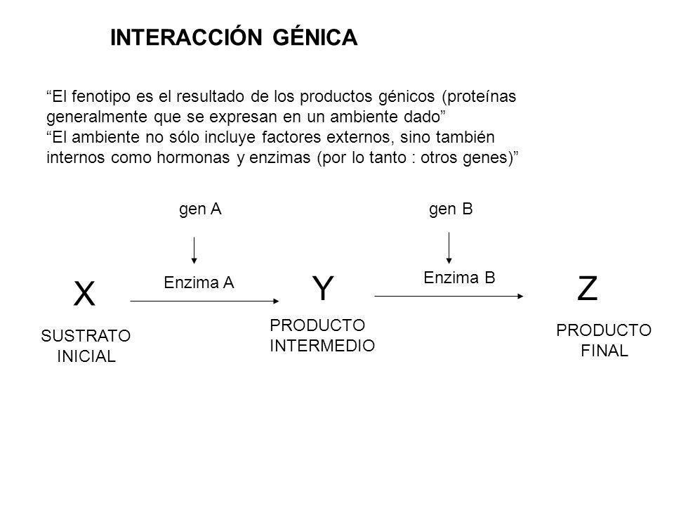 Y Z X INTERACCIÓN GÉNICA