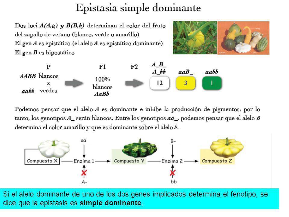 Si el alelo dominante de uno de los dos genes implicados determina el fenotipo, se
