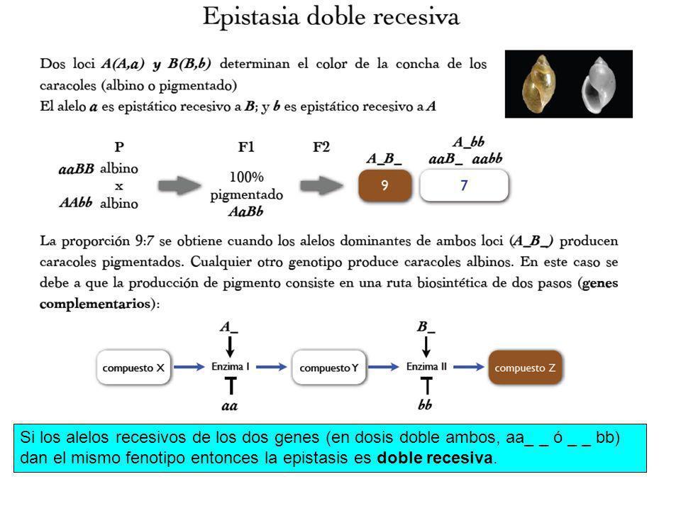 Si los alelos recesivos de los dos genes (en dosis doble ambos, aa_ _ ó _ _ bb) dan el mismo fenotipo entonces la epistasis es doble recesiva.