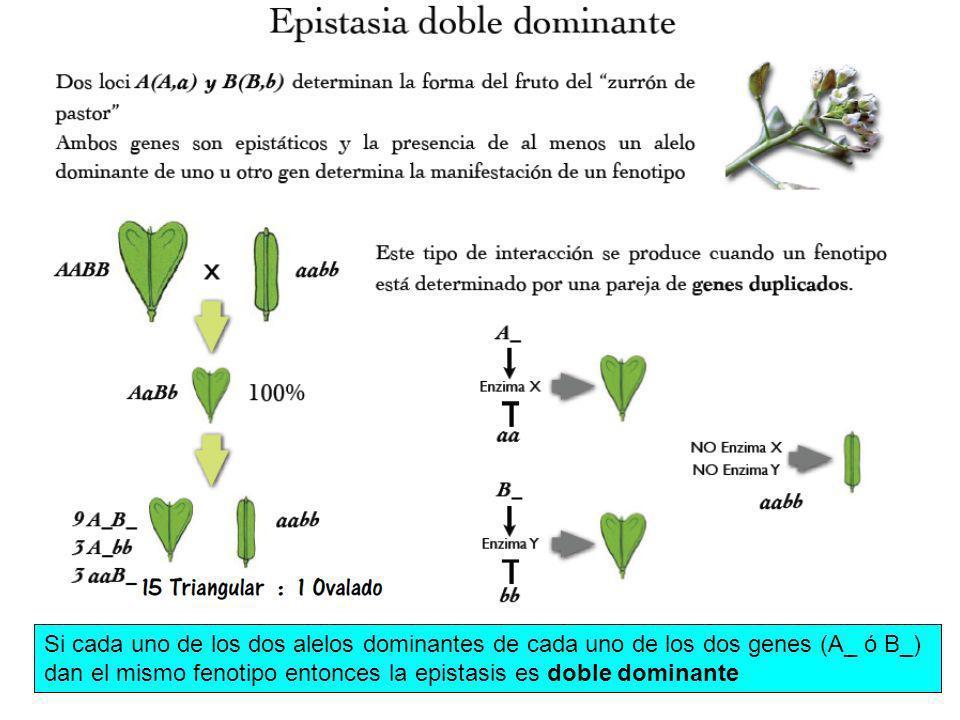 Si cada uno de los dos alelos dominantes de cada uno de los dos genes (A_ ó B_) dan el mismo fenotipo entonces la epistasis es doble dominante