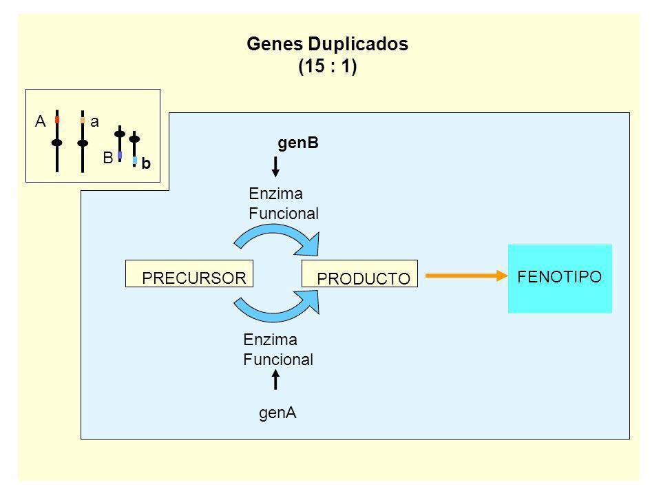 Genes Duplicados (15 : 1) A a genB B b Enzima Funcional PRECURSOR