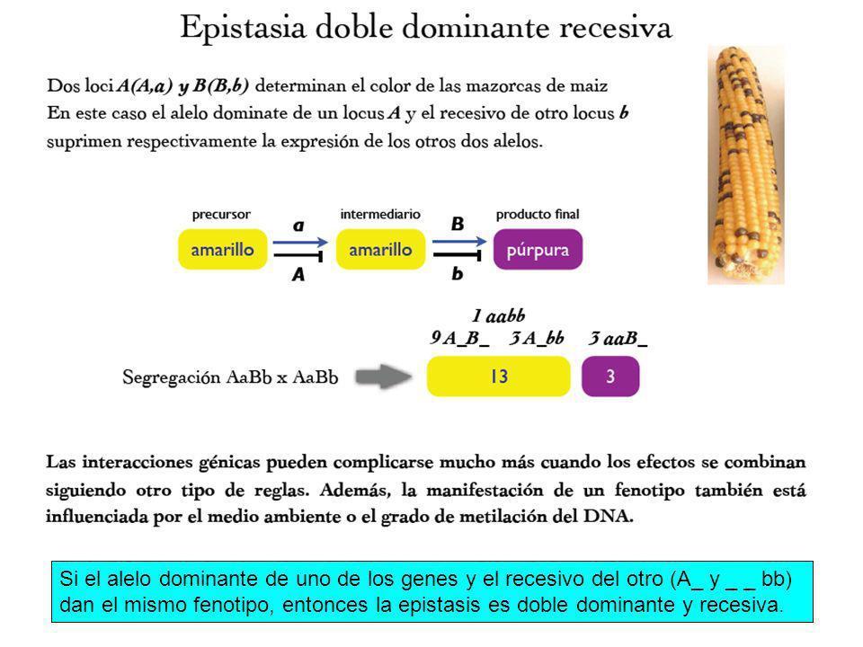 Si el alelo dominante de uno de los genes y el recesivo del otro (A_ y _ _ bb) dan el mismo fenotipo, entonces la epistasis es doble dominante y recesiva.