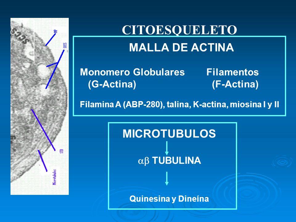 CITOESQUELETO MICROTUBULOS MALLA DE ACTINA