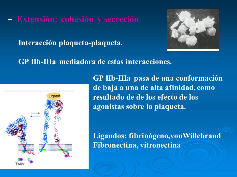 - Extensión: cohesión y secreción
