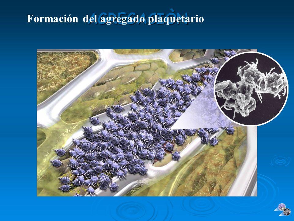 AGREGACIÒN Formación del agregado plaquetario