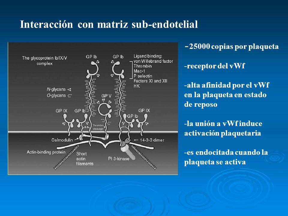 Interacción con matriz sub-endotelial
