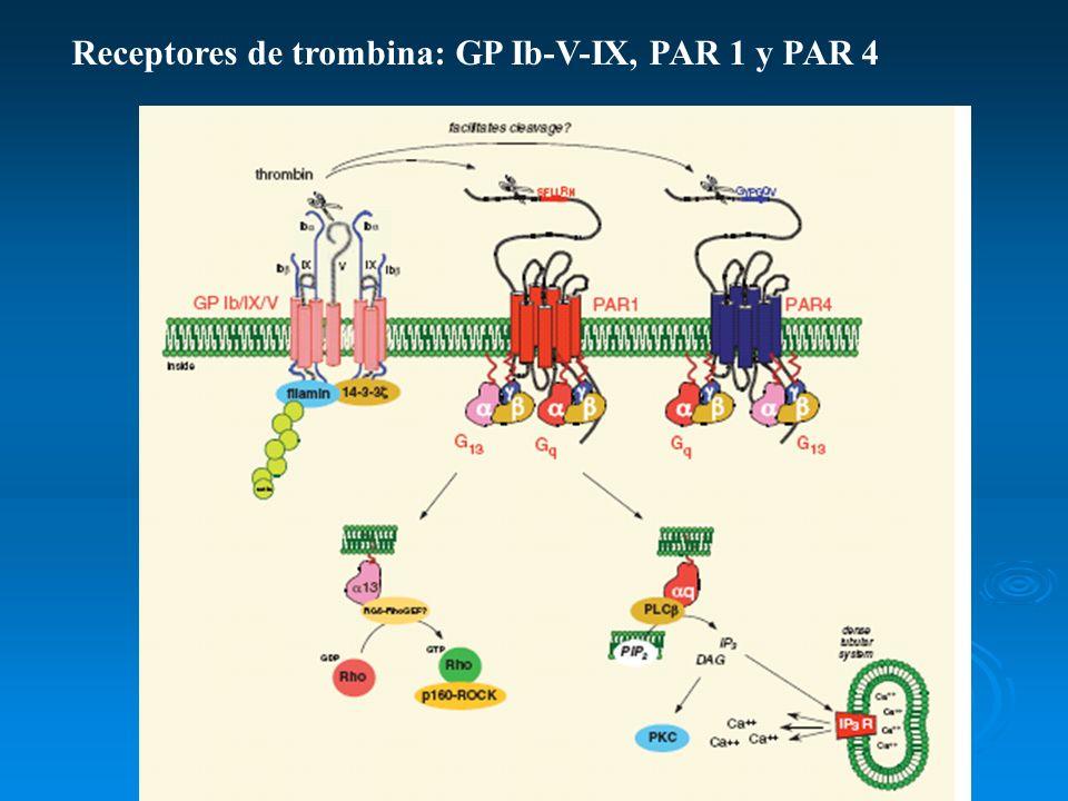 Receptores de trombina: GP Ib-V-IX, PAR 1 y PAR 4