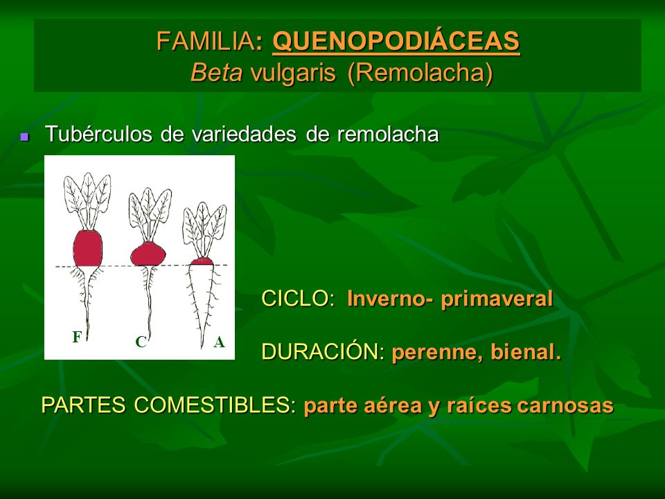 FAMILIA: QUENOPODIÁCEAS Beta vulgaris (Remolacha)