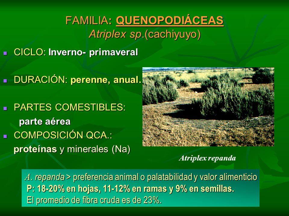 FAMILIA: QUENOPODIÁCEAS Atriplex sp.(cachiyuyo)