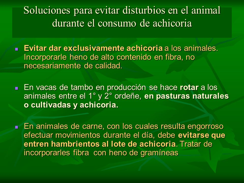 Soluciones para evitar disturbios en el animal durante el consumo de achicoria