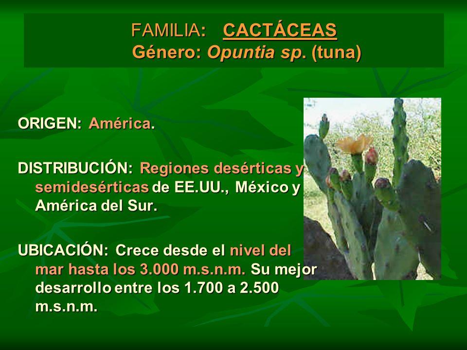 FAMILIA: CACTÁCEAS Género: Opuntia sp. (tuna)