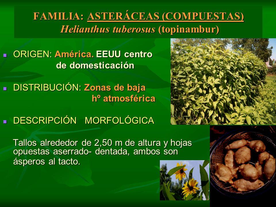 FAMILIA: ASTERÁCEAS (COMPUESTAS) Helianthus tuberosus (topinambur)