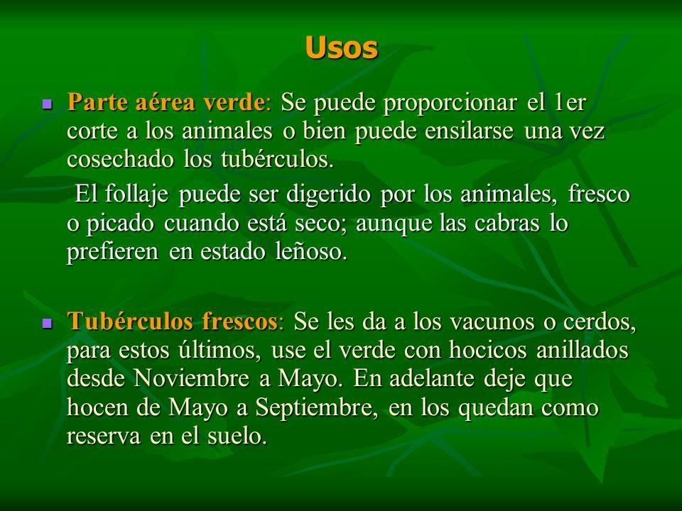 Usos Parte aérea verde: Se puede proporcionar el 1er corte a los animales o bien puede ensilarse una vez cosechado los tubérculos.