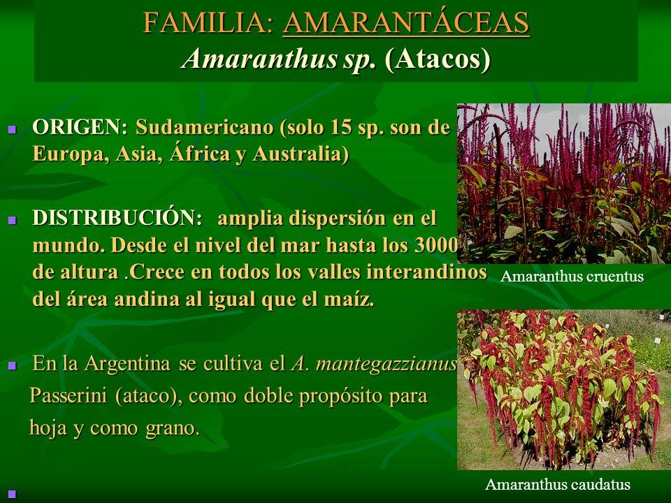 FAMILIA: AMARANTÁCEAS Amaranthus sp. (Atacos)