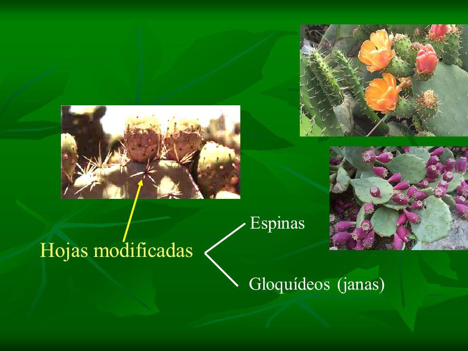 Hojas modificadas Espinas Gloquídeos (janas)