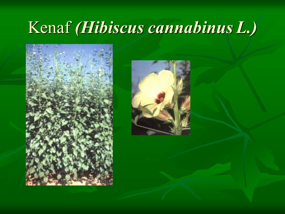 Kenaf (Hibiscus cannabinus L.)