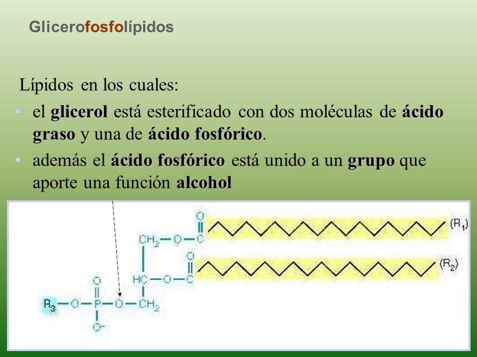 Glicerofosfolípidos Lípidos en los cuales: el glicerol está esterificado con dos moléculas de ácido graso y una de ácido fosfórico.