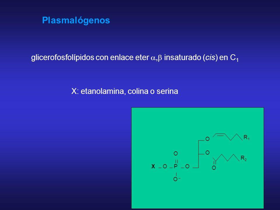 Plasmalógenos glicerofosfolípidos con enlace eter a,b insaturado (cis) en C1. X: etanolamina, colina o serina.