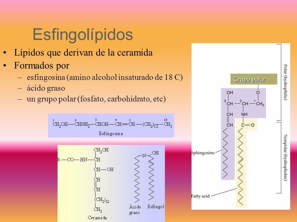 Esfingolípidos Lípidos que derivan de la ceramida Formados por