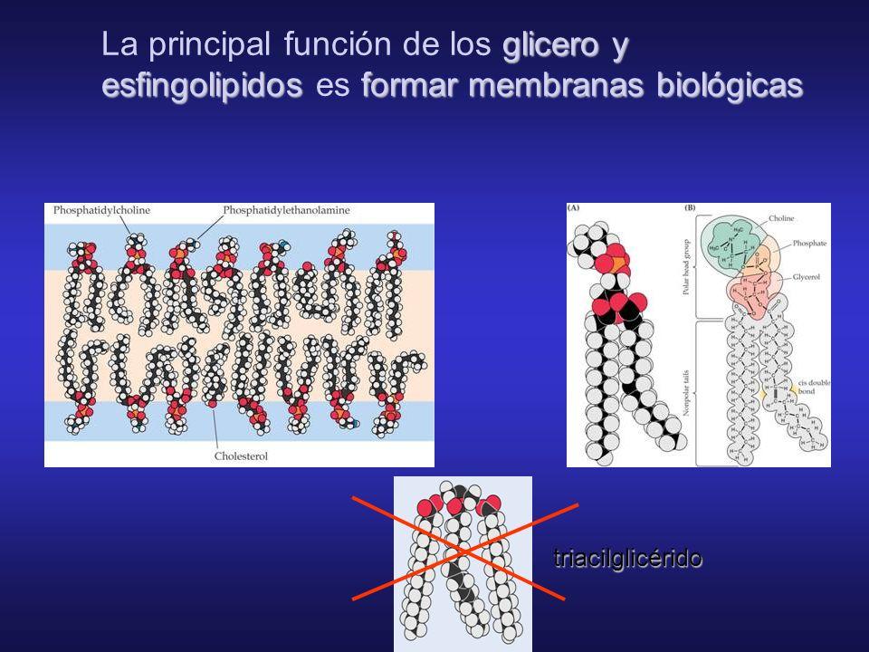 La principal función de los glicero y esfingolipidos es formar membranas biológicas