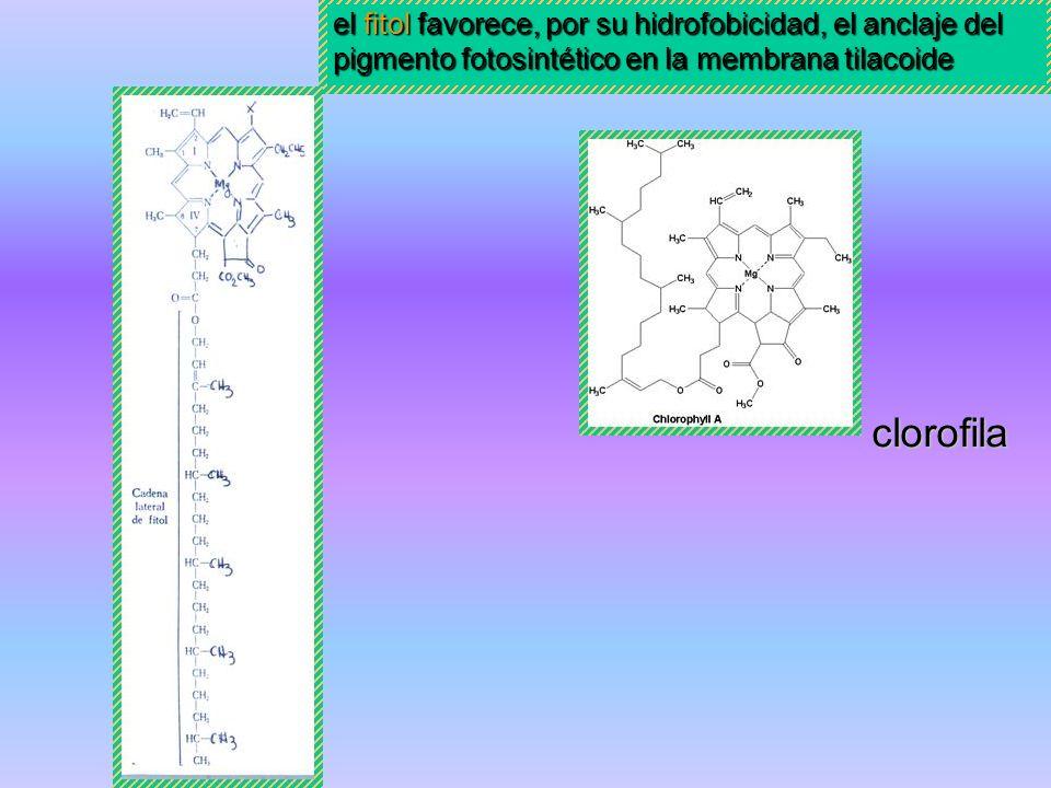 el fitol favorece, por su hidrofobicidad, el anclaje del pigmento fotosintético en la membrana tilacoide