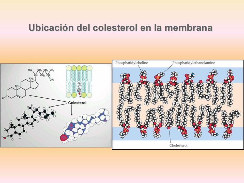 Ubicación del colesterol en la membrana