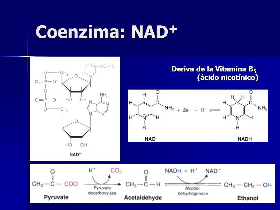 Coenzima: NAD+ Deriva de la Vitamina B5 (ácido nicotínico)