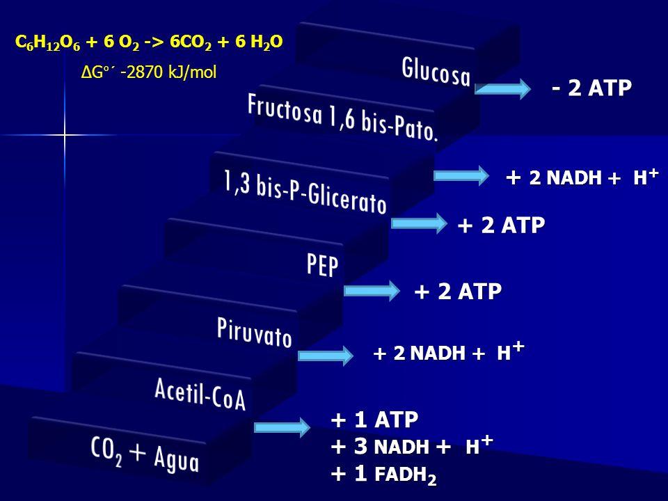 Glucosa Fructosa 1,6 bis-Pato. 1,3 bis-P-Glicerato PEP Piruvato