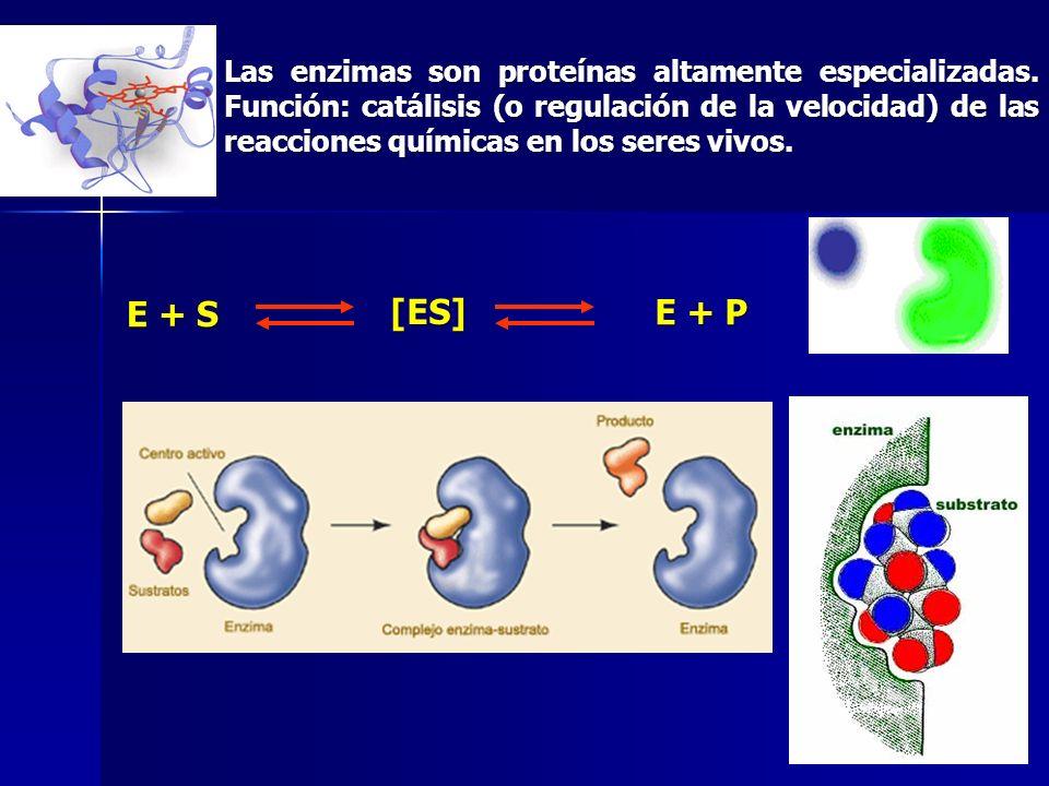 Las enzimas son proteínas altamente especializadas