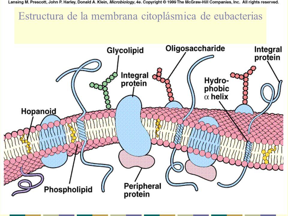 Estructura de la membrana citoplásmica de eubacterias